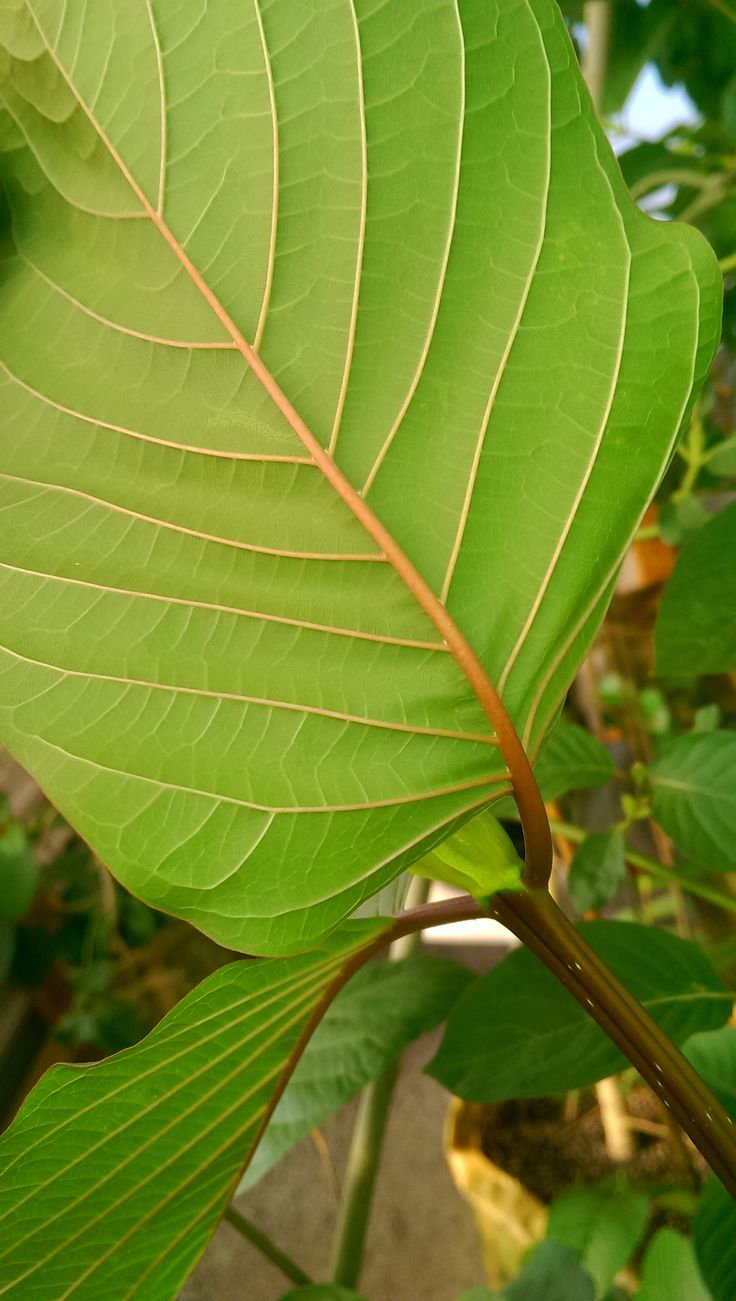 Buy fully rooted kratom plants, $45 and up. In stock!