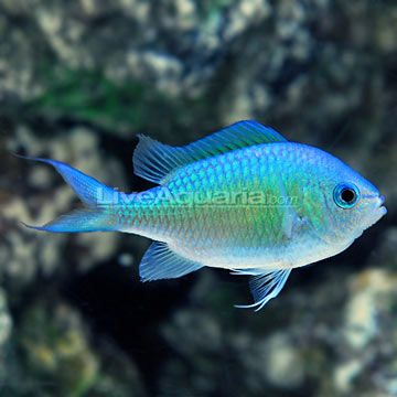 Right now, I'm thinking the chromis will be the other fish in the tank... Not sure and it's a long way down the line