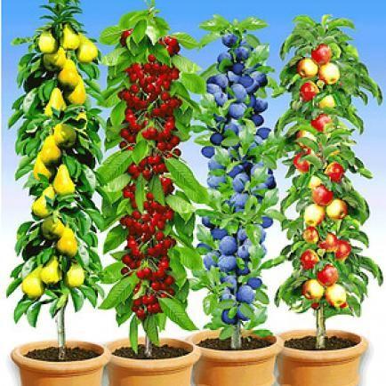 Säulen-Obst-Kollektion,4 Pflanzen