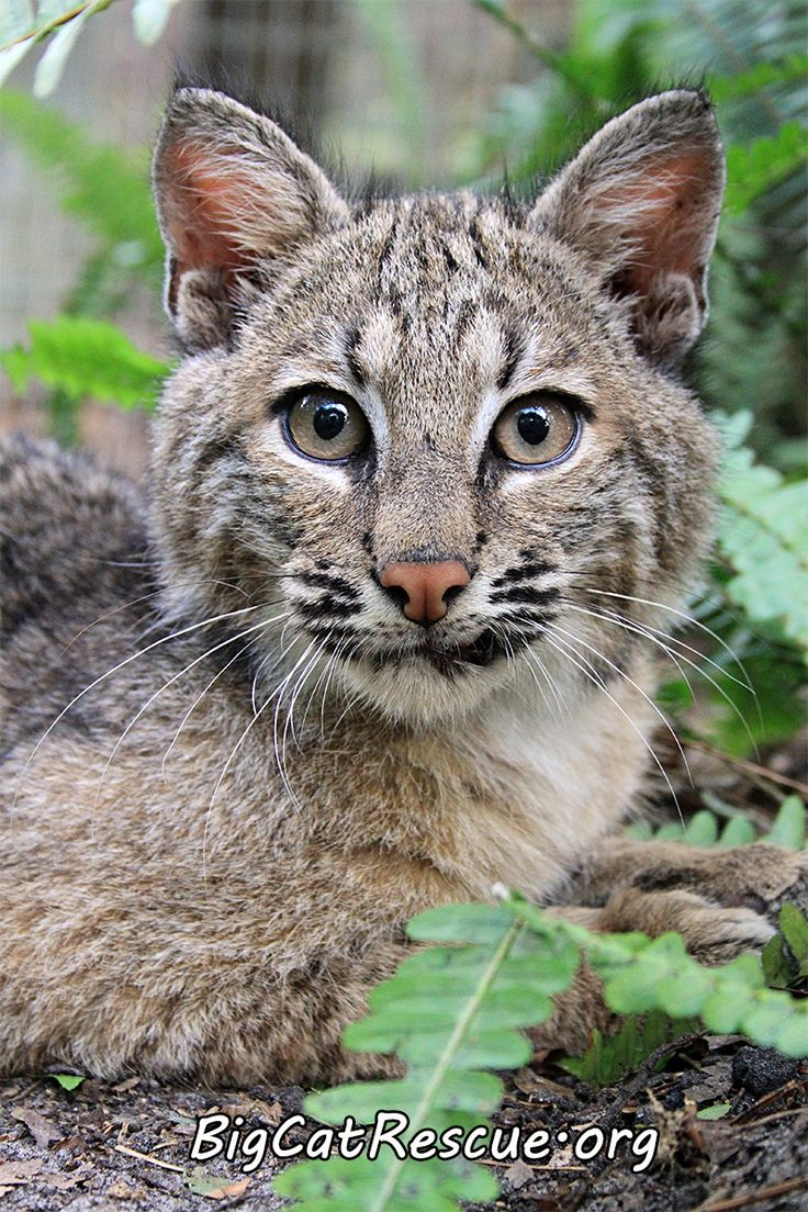 Big Cat Rescue Blind Bobcat