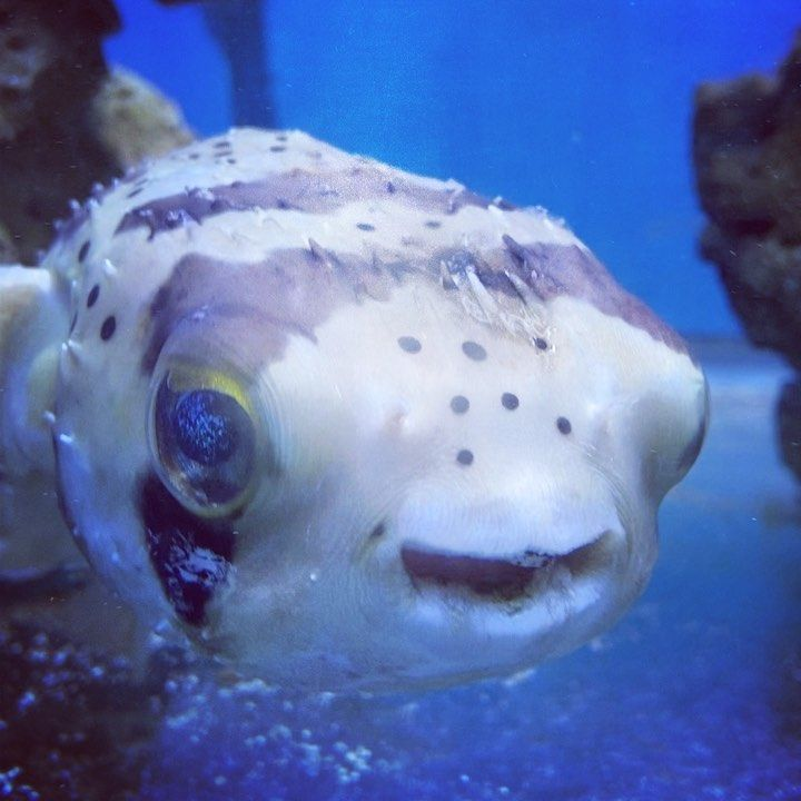 Smiling Puffer Fish Look At Those Starry Eyes Travel Ocean Fish Sea Big Pufferfish Cute Smiling Blue Wild Funny Sweet E Animals Fish Pet Image