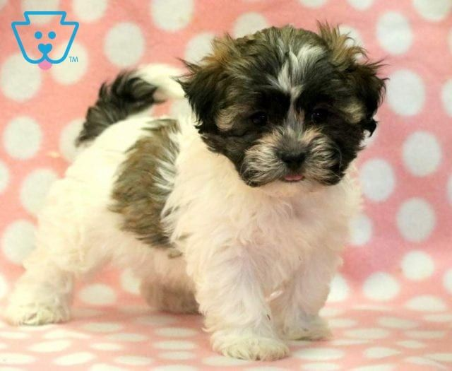 Josie Teddy Bear Puppies Puppies Puppies For Sale