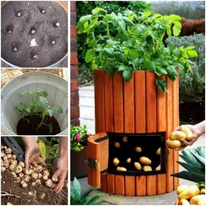 How to Grow 100 Pounds of Potatoes in A Barrel | www.FabArtDIY.com #fabartdiy.com,#diy,#planting,#tutorial,#howtogrowpotato,#tips LIKE Us on Facebook ==> https://www.facebook.com/FabArtDIY