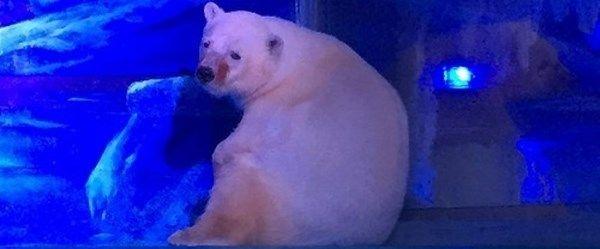 Ren geyikleri ve kutup ayıları tehlikede