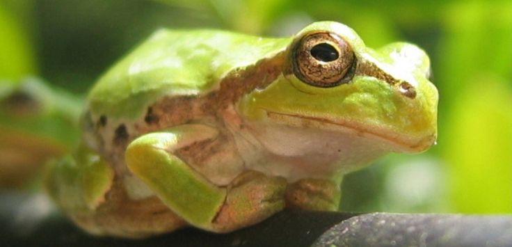 Zombifiés par un champignon, des grenouilles se transforment en funestes don Juan