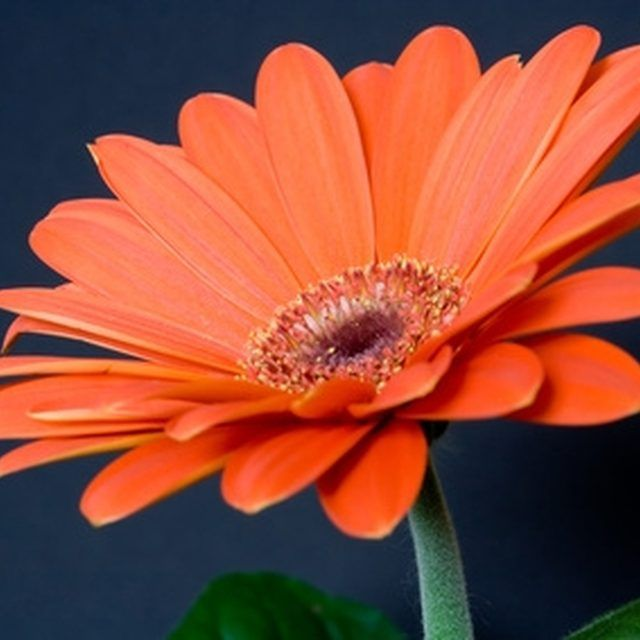 Gerbera grow well in pots.