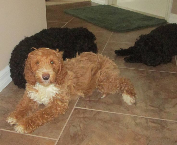 Vincenzo Labradoodle male