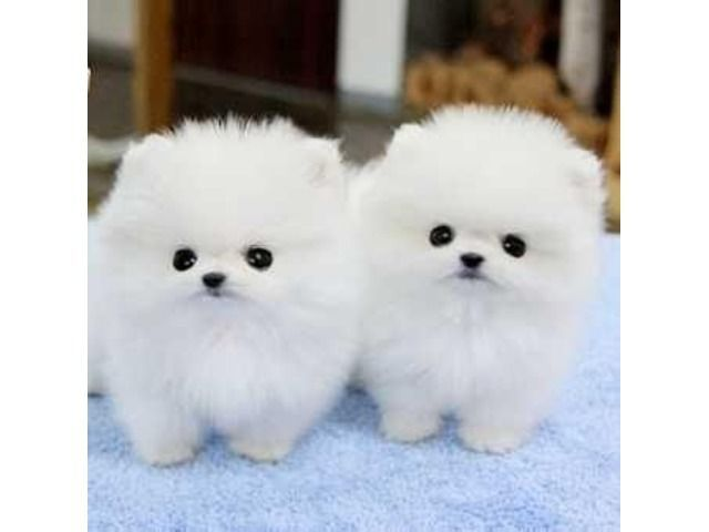 Sweet AKC Tea Cup Pomeranian Puppy Now Available | Free Classifieds -… – Animals Blog – #AKC # available #Now #Classifieds