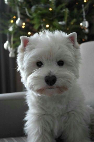 Izabela Smolewska Westie Nation on Facebook