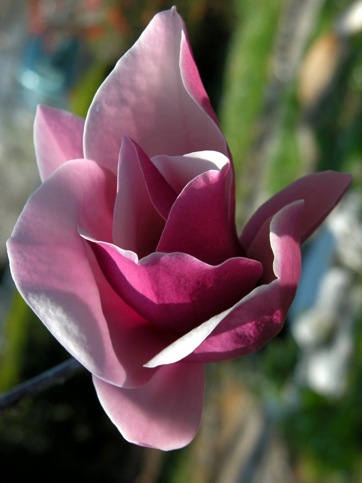 Magnolia liliiflora Desr., 2005. Department of Life Sciences, University of Trieste, CC BY-SA
