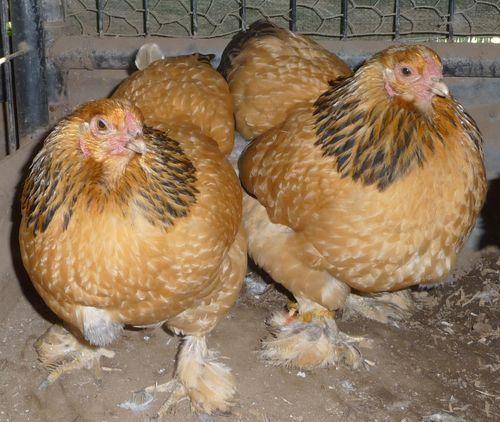 poule brahma buff bantam