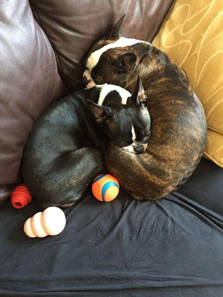 Pin by Sinjin Kraken on Dogs Boston terrier, Animals