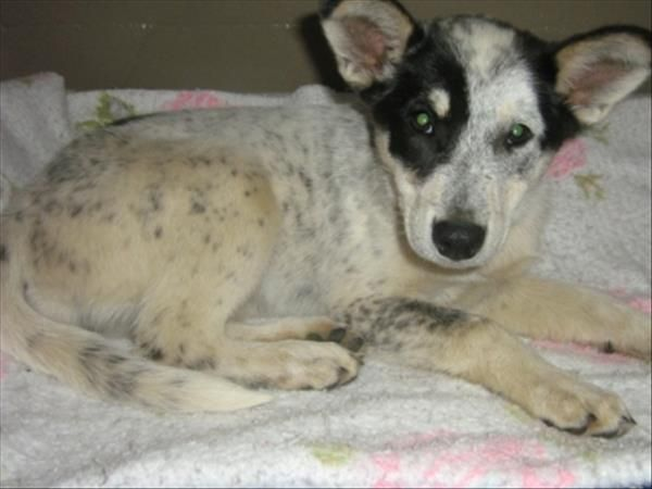 North Peace SPCA puppy. Cattle Dog Blue Heeler cross
