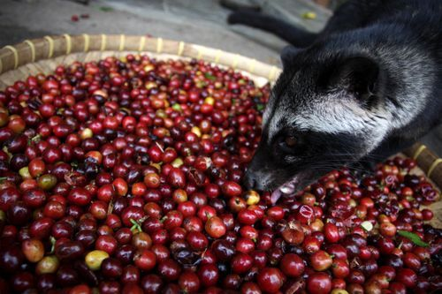 Kopi Luwak Is the Most Expensive Coffee - Is Civet Coffee Worth the Price? - http://coffee-brewing-methods.com/coffee-beans-review/kopi-luwak-civet-coffee/