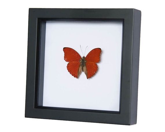 Real Sangria Butterfly Preserved in Shadowbox by BugUnderGlass