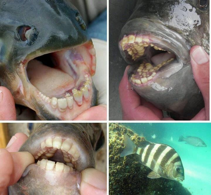 Dentadura humana.