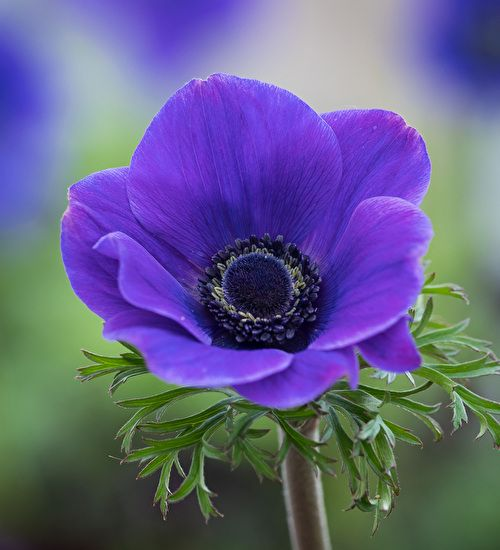 Anemone coronaria Jerusalem Blue, this looks good for months and excelled in our windowbox trials. Pick yours today.