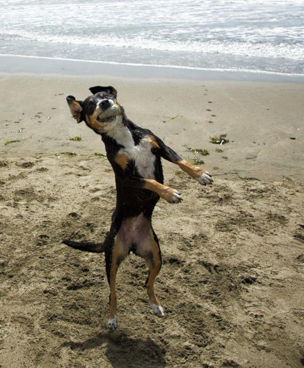 Entlebucher Mountain Dog Canada