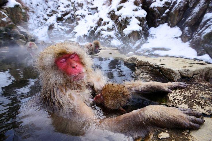 Japanese Snow Monkey in Shiga Kogen