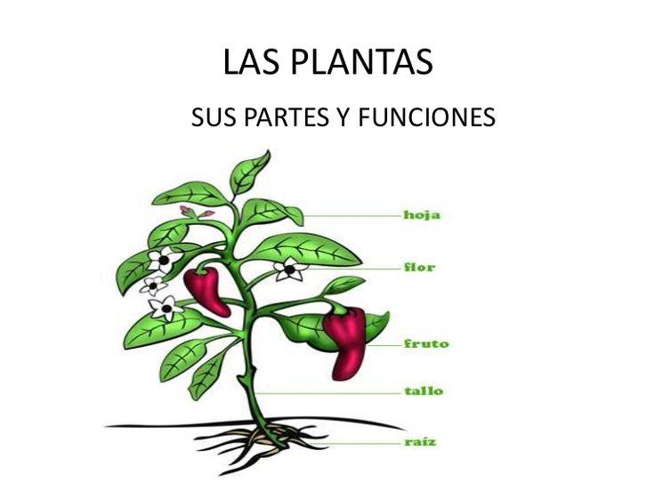 Las Partes De Una Planta Dibujo