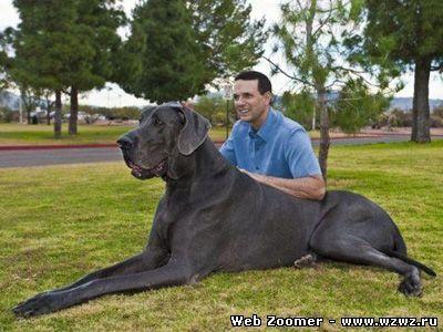 Самая большая собака в мире - голубой дог