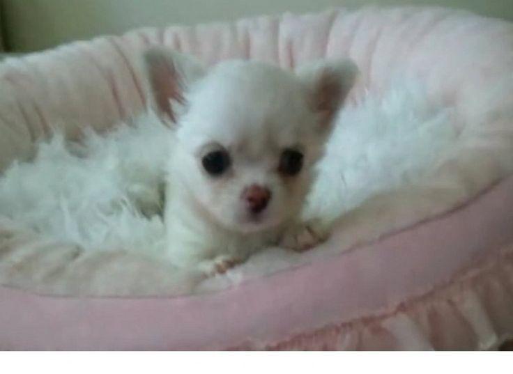Chihuahua blanco adorable