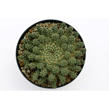 Kakteen Haage | Euphorbia gorgonis cristata