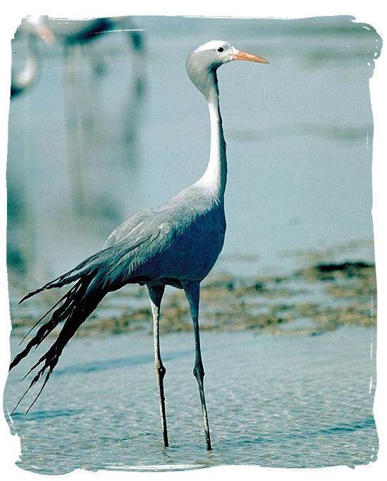 Blue Crane, a national symbol of South Africa