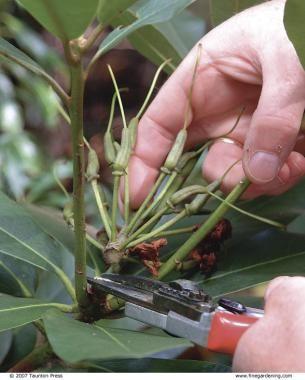 3 Ways to Prune Rhododendrons | Fine Gardening