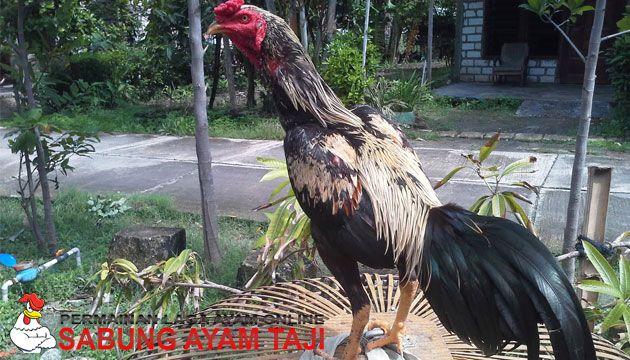 71 Gambar Ayam Wido Juara Terbaik