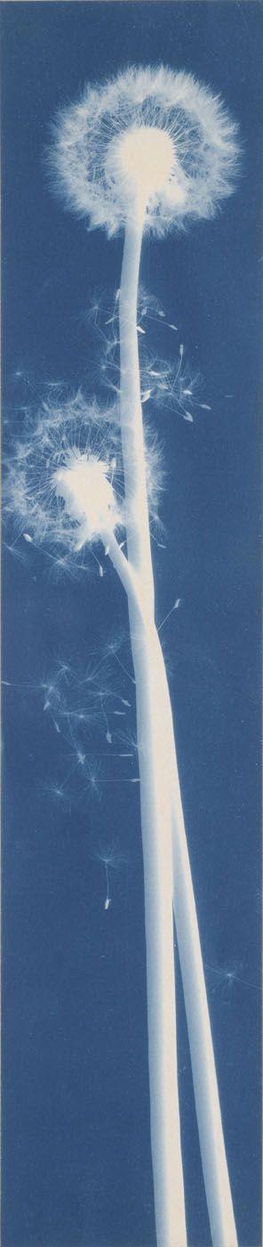 Dandelion Seeds, Taraxacium officinale Author: Bertha E. Jaques (American, 1863–1941)Date: ca. 1910Medium: Cyanotype photogramLocation: Smithsonian American Art Museum