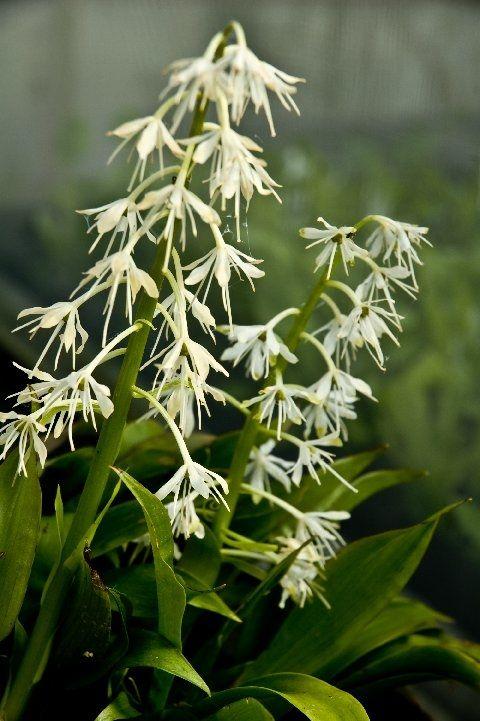 YPSILANDRA THIBETICA   from Secret Garden Growers