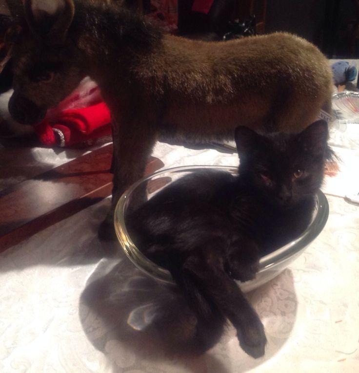 Kitten small bowl.