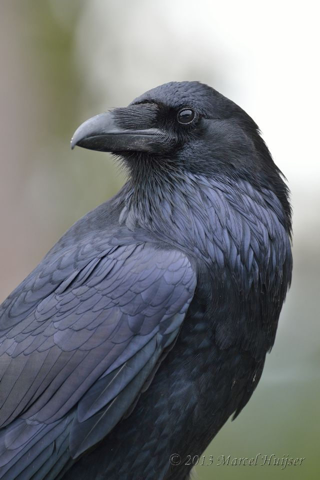 common raven - Google Search