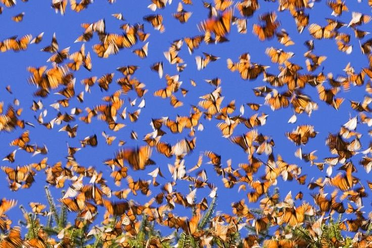 Monarch Butterfly Migration -- I would love to see the sky filled with these beautiful creatures!