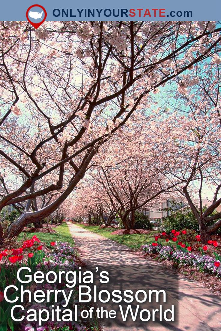 Travel | Georgia | Attractions | Atlanta | Cherry Blossoms | Cherry Blossom Capital | Festivals | Macon | Places To Visit | USA | Day Trips | Spring | Things To Do | Enchanting | Flowers | Small Town | Outdoor Attractions | Capital