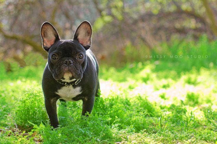 French bulldog!: Doggie, Pet Photography, Bulldogs Green, French Bulldogs, Frenchi Galor
