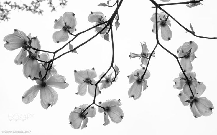 Dogwood Sky - I decided to switch from the west to the east but Im staying with BW for this one. Spring has finally started this past week in the Mid-Atlantic States. One of the first highly visible flowers is found on Dogwood trees. We have both white and pink dogwoods in our area. Very pretty.