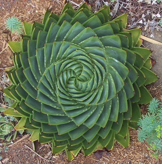 Spiral aloe: Gardens Ideas, Succulent, Aloe Plants, Spirals Aloe, Aloe Polyphylla, Beautiful, Aloevera, Vera Plants, Aloe Vera