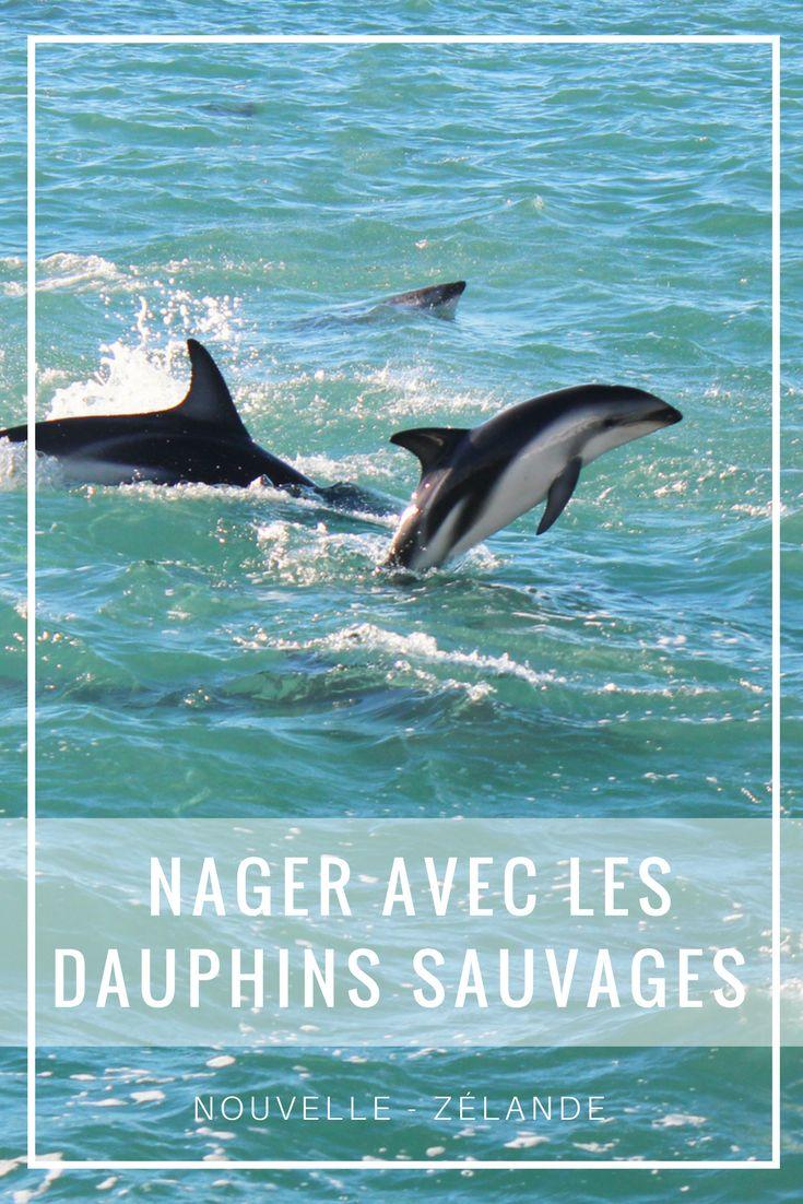 Nager avec les dauphins sauvages de Kaikoura en Nouvelle-Zélande
