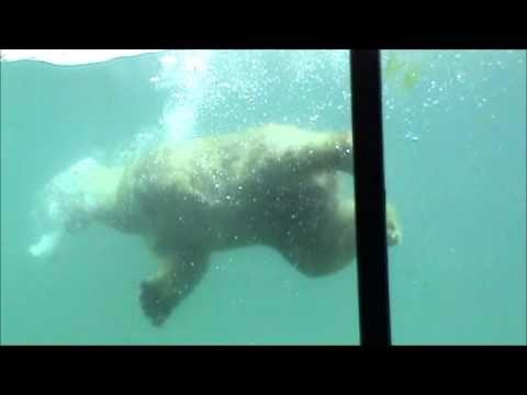 Diergaarde Blijdorp - IJsbeer Olinka onder water - YouTube