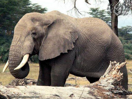 Elephant Facts For Kids | Elephant Habitat & Diet