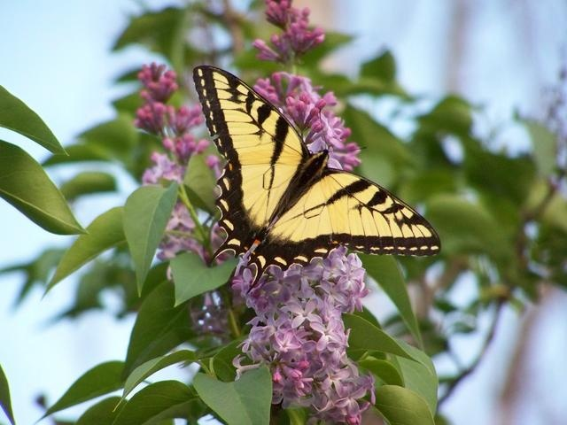 Butterfly And Lilac Bush Springtime In Ky Local Flavor