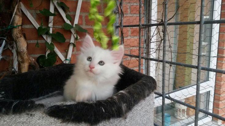 Sakeenas LoveStoned white norwegian forestcat http://galleri.elkington-cats.dk/#!album-24-19