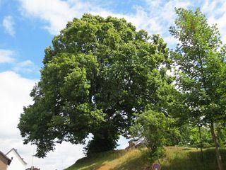 Ein Naturdenkmal ist die Dorffer Linde in Stolberg Dorff, deren Alter auf 500…