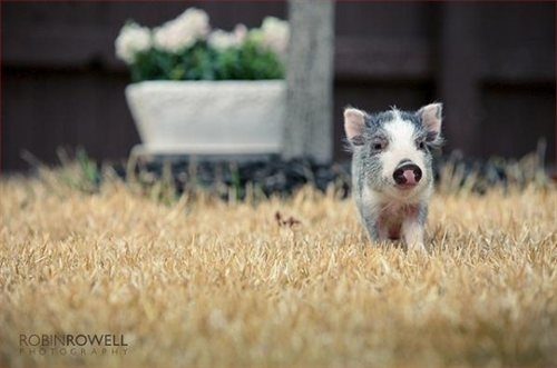 After I get my chickens, I want a tea cup pig.