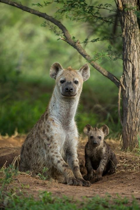 Spotting some little spotteds...  Go here to see more awesome shots of this young spotted hyena and it's mom: http://blog.africageographic.com/africa-geographic-blog/wildlife/gorgeous-brunette-and-stunning-blonde-run-wild-in-marataba/