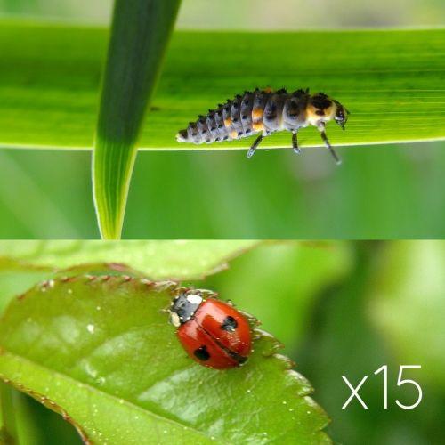 Larve de coccinelle arbustes Coccifly x15