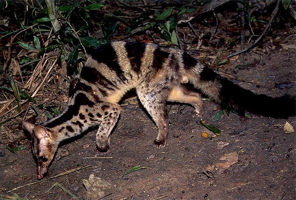Banded Palm Civet | Banded-Palm-Civet-Banded-Palm-Civet.jpg
