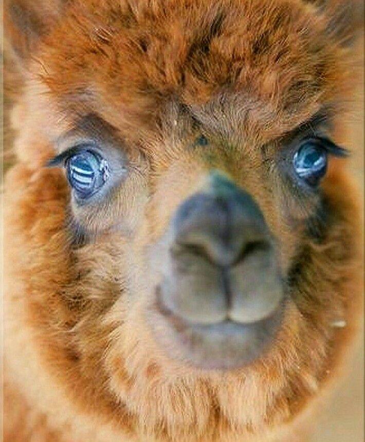 Best 25 Baby Llama Ideas On Pinterest: 25+ Best Ideas About Baby Alpaca On Pinterest